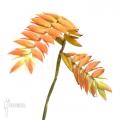 Bromelia 'Tillandsia dyeriana'