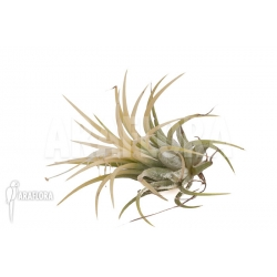 Tillandsia ionantha Druid