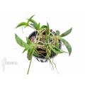 Orchidee 'Tolumnia hawkesiana'