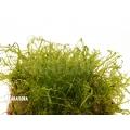 Tropisch levermos 'Pellia' neblina  'Monosolenium tenerum 'Neblina'