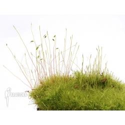 Tropical moss Starter