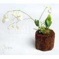 Blaasjeskruid 'Utricularia alpina 'Henry piettier giant'