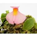 Utricularia (Blaasjeskruid)