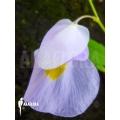 Blaasjeskruid ´Utricularia alpina x endresii'