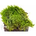 Blaasjeskruid 'Utricularia bisquamata' starter