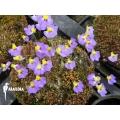 Blaasjeskruid 'Utricularia bisquamata'