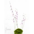 Blaasjeskruid 'Utricularia blanchetti starter'