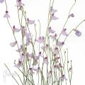 Blaasjeskruid 'Utricularia blanchettii 'Chapada Diamantina'