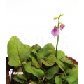 Blaasjeskruid 'Utricularia calycifida 'Gran sabana'