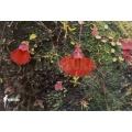 Blaasjeskruid 'Utricularia campbelliana'