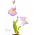 Blaasjeskruid 'Utricularia endresii'