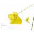 Blaasjeskruid 'Utricularia flaccida'