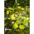Blaasjeskruid 'Utricularia gibba'