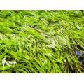 Blaasjeskruid 'Utricularia graminifolia