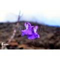 Blaasjeskruid 'Utricularia humboldtii 'Serra do neblina'