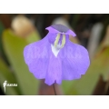 Blaasjeskruid ´Utricularia humboldtii (Flower)'