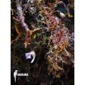 Blaasjeskruid 'Utricularia jamesoniana flower'