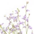 Blaasjeskruid 'Utricularia livida'