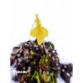 Blaasjeskruid 'Utricularia mannii'