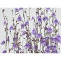 Blaasjeskruid 'Utricularia minutissima'