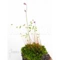 Blaasjeskruid 'Utricularia minutissima' starter