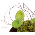 Blaasjeskruid 'Utricularia nelumbifolia'