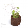 Blaasjeskruid 'Utricularia nelumbifolia 'L'