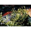 Blaasjeskruid 'Utricularia neottioides'