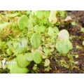 Blaasjeskruid 'Utricularia nephrophylla 'White flower'