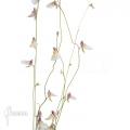 Blaasjeskruid 'Utricularia parthenopipes'