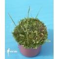 Blaasjeskruid 'Utricularia praelonga'