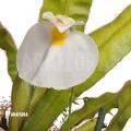 Blaasjeskruid 'Utricularia praetermissa'