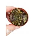 Blaasjeskruid 'Utricularia prehensilis'