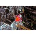 Blaasjeskruid 'Utricularia quelchii'