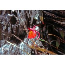 Utricularia quelchii flower in Natural Habitat