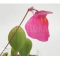 Blaasjeskruid 'Utricularia quelchii 'Auyan'