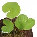 Blaasjeskruid 'Utricularia reniformis 'Mata atlantica' 'L'
