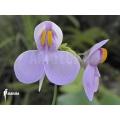 Blaasjeskruid 'Utricularia reniformis 'Mata atlantica' 'S'