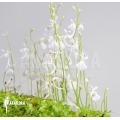Blaasjeskruid 'Utricularia sandersonii'