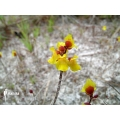 Blaasjeskruid 'Utricularia sandwithii'