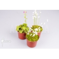 Blaasjeskruid 'Utricularia starter package 3'
