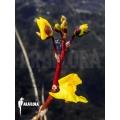 Blaasjeskruid 'Utricularia vulgaris'