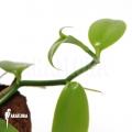 Vanilla orchidee 'Vanilla planifolia'