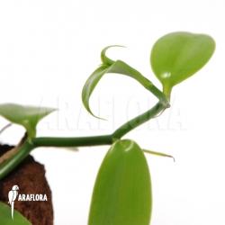 Vanilla planifolia 'Vanilla orchid'
