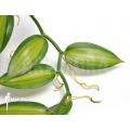 Vanilla orchidee 'Vanilla planifolia variegated'