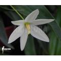 Vellozia species Brazil 'White'
