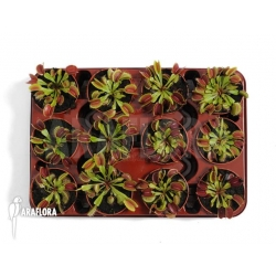 Dionaea muscipula 'Tray'