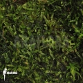 Java mos 'Vesicularia dubyana'