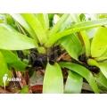 Bromelia 'Vriesea erythrodactylon´