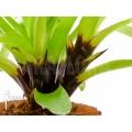 Bromelia 'Vriesea erythrodactylon'